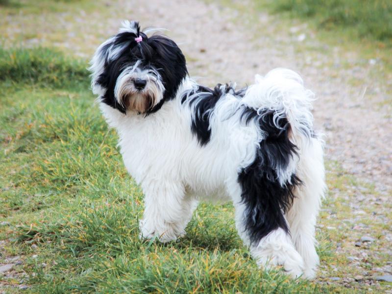 Boshay S Tibet Terrier Die Tibet Terrier Liebhaberzucht Aus Gelsenkirchen Fotoalben
