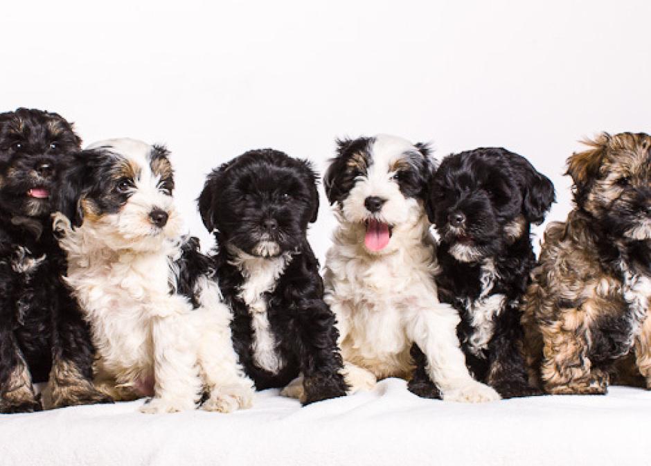 Boshay S Tibet Terrier Die Tibet Terrier Liebhaberzucht Aus